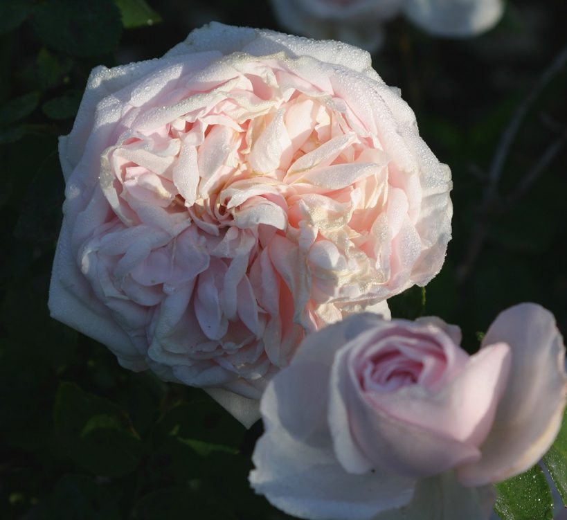 the-best-roses-for-the-south