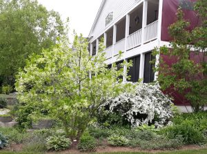 white flowering shrubs in front of a brick house with large front porches