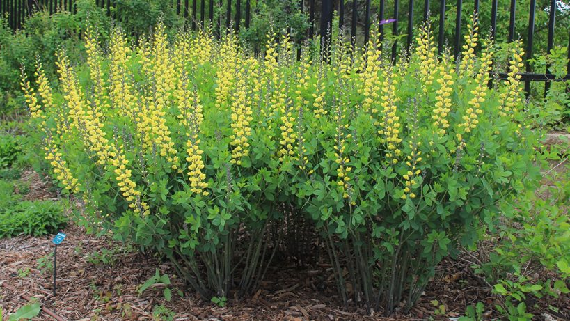 shrubby-perennials-with-flower-power-for-the-northern-plains